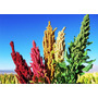Quinoa Arcoiris 10 Semillas Hortaliza Maceta Mpsdqro