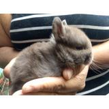 Conejos Enanos Para Mascota Mas Alimento Y Desparasitados