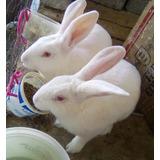 Conejos De Raza Nueva Zelanda