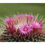 Cactus Exotico Mammillaria Spinosissima Var. Unpico