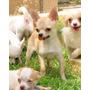 Hermoso Chihuahua Macho Cabeza De Manzana