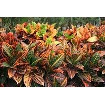 1 Planta De Croto, Setos, Jardines, Ornato, Parques Y Mas