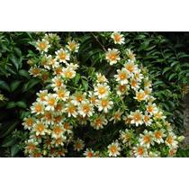 1 Planta De Pereskia Aculeata - Flores Hermosas Y Raras