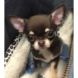Chihuahua Mini Mini