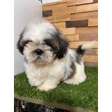 Cachorros Shih Tzu Shitzu Talla Pequeña La Mejor Calidad