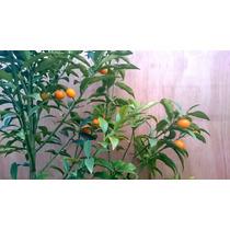 Kumquat Grande, Aprox 170 Cm. Solo Df, Con Buena Produccion
