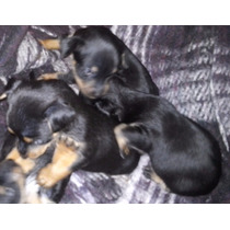 Cachorros Chihuahua Camada Y Mama