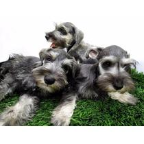 Schnauzer Mini Preciosos Cachorritos Vacunados