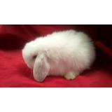 Hermosos Conejos Belier (mini Lop) Blancos