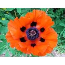 Poppy Red Oriental 10 Semillas Flor Jardín Sdqro