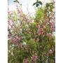 Cerezo Japones Prunus Serrulata +6 Metros !!!