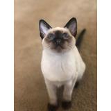 Cachorros De Gato Siames En Oferta A Meses Sin Intereses