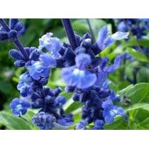 Salvia Farinacea Azul 10 Semillas Flor Jardín Planta Sdqro