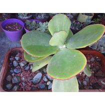 Oreja De Elefante ( Planta ) , Cotyledon Macrantha , Sol