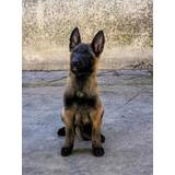 Cachorros Pastor Belga Malinois Carbonados