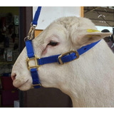 Jaquima Bosal Para Borrego, Cabra Con Guia (correa)