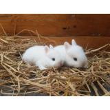Hermosos Conejos Enanos En Venta