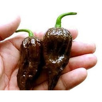 Semillas De Chile Fantasma Bhut Jolokia Chocolate