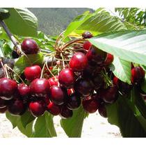 Arbolito Cereza Cherry Pastelero Cereza Dulce