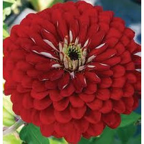 Zinnia Super Red 10 Semillas Flores Planta Sdqro