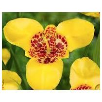 Tigridia Amarilla 10 Semillas Flores Planta Sdqro