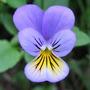 Viola Enana 10 Semillas Flores Planta Sdqro