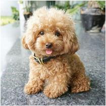 Maltipoo Cachorros Incomparable Calidad