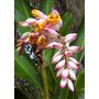 Planta Exótica Heliconia Shell Ginger Variegada Rizoma
