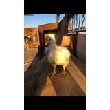 Pollos De Engorda Ya Listos