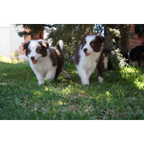 Cachorros Border Collie (chocolate)