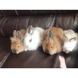 Auténticos Conejos Cabeza De Leon