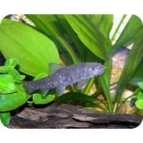 Pez Garra Rufa Auténtico ( Dr. Fish ) Calidad Nacional