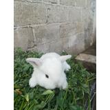 Conejos Belier, Mini Lop, Rex Miniatura