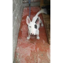 Cachorritas Bullterrier Ingles