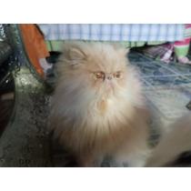 Se Rentan Hermosos Gatos Persa Para Cruza