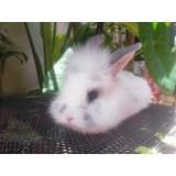 Hermosos Conejo De Angora Mini Lop