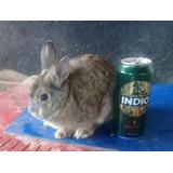 Conejo Enano Holandes De 1 Año