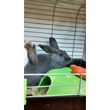Conejo Holandes Enano Precioso. Adulto . Con Jaula.
