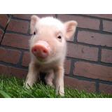 Minipig Mini Pig Niñas Totalmente Rositas