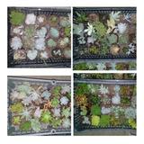 Echeverias/suculentas/cactus Pack 30 Piezas Sin Repetir