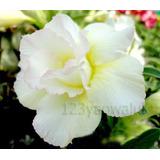 Rosa Del Desierto Double-white-rose ( 1 Planta)