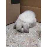 Hermosos Conejos Belier (orejas Caidas)