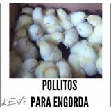 Pollos Para Engorda