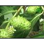 Arbolitos Plantas De Noni Con Flor Y Fruto