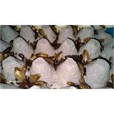 Alimento Vivo Cucaracha Lobster 1000 Pz
