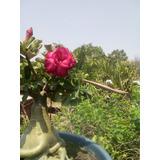 Semillas De Rosa Del Desierto