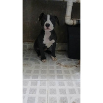 Cachorros Pitbull Bully Xl