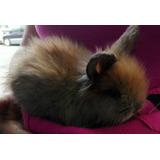 Conejo Mini-lionhead Cabeza Leon