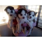 Husky, Huskys Siberianos Cachorros Pedigree Opcional