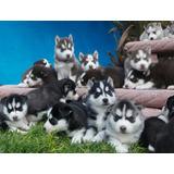 35 Cachorros Husky A Meses Sin Intereses Pedigree Opcional